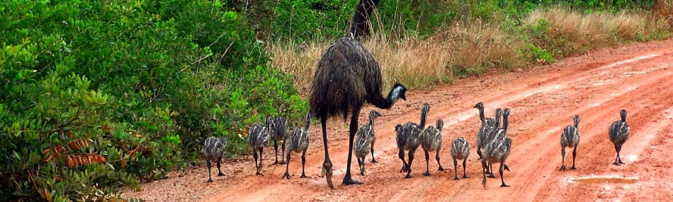 Emu and chicks in their natural environment.