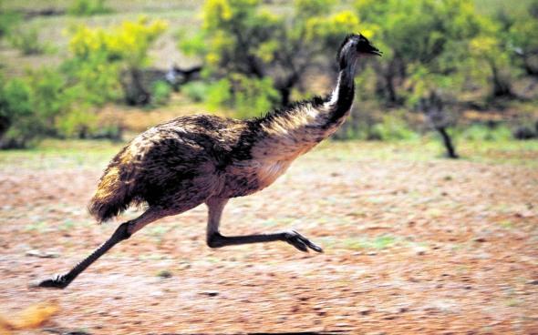 emu running