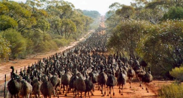 "Emus migrating along the ""dingo fence."""