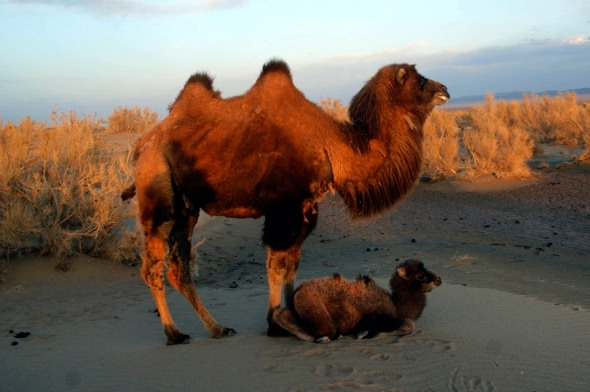 Healthy wild camel in it's natural environment.