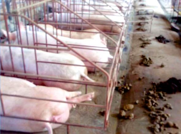 Inside a Vietnamese piggery.