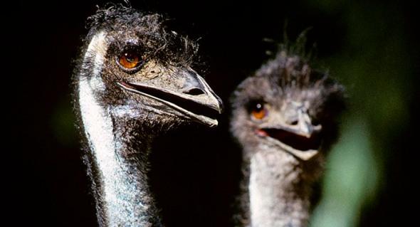 Emus.
