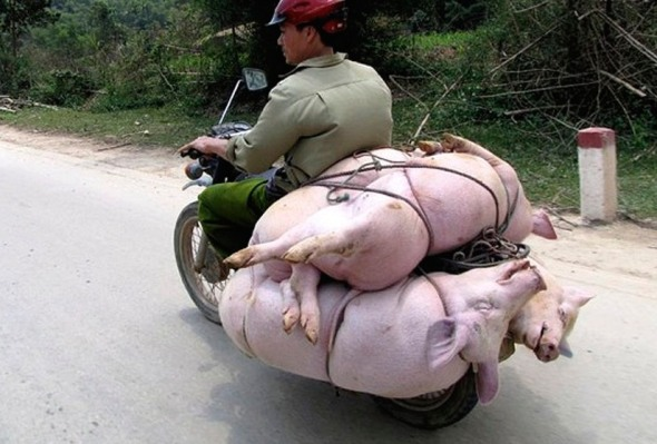 Live pigs being transported in Vietnam; very common sight.