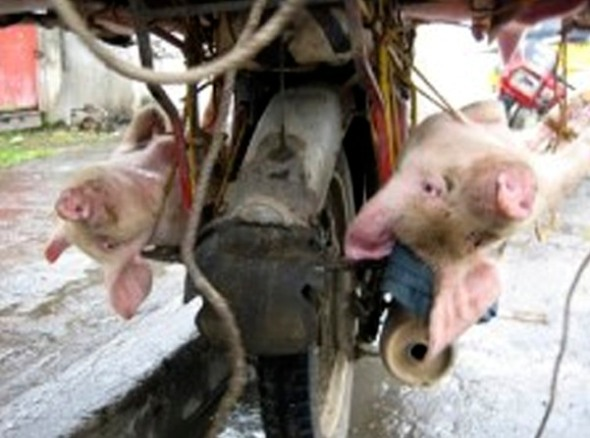 Live pigs tied onto motorbike, next to the exhaust pipe and engine.