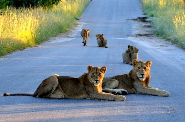 Would you really want to roller-skate past these lionesses?
