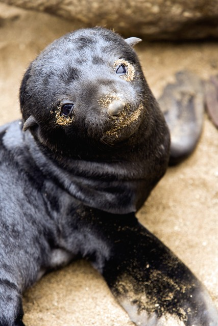 Unweaned Cape fur seal pup.