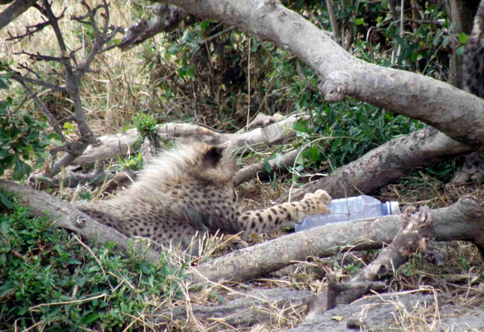 Baby cub with an empty plastic bottle. If the cub eats the plastic it will kill him.