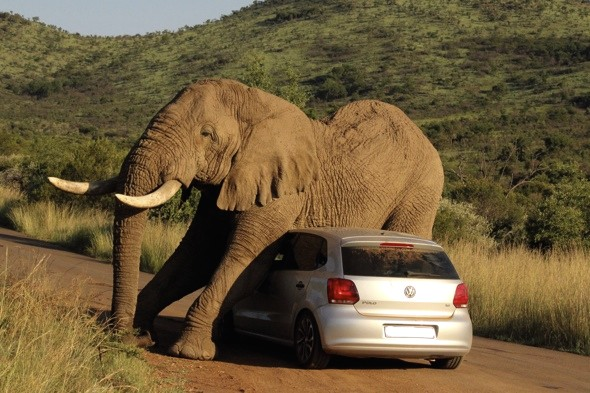 Itchy elephant scratching himself on a tourist's car which would not move out of his way.