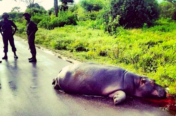 Hippo killed after being struck by a speeding driver, inside his own habitat.