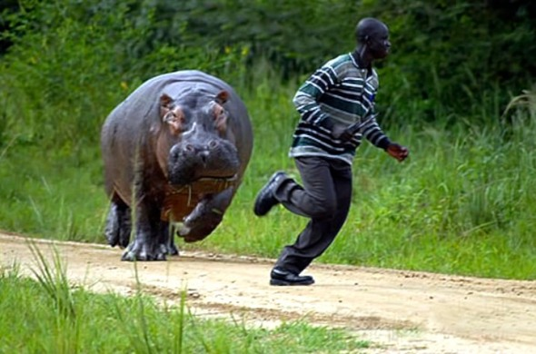 Angry hippo charging a human who should not be in the hippo's space.