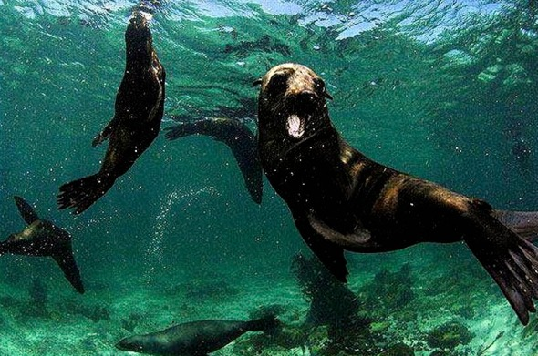 Fur seals  looking for food, off Namibia's coastline.