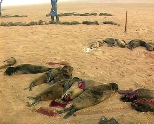 Namibia's baby seal kill, funded by  Hatem Yavuz.