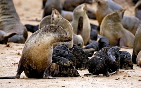 A Namibian mother fur seal looking after a creche of baby seals.