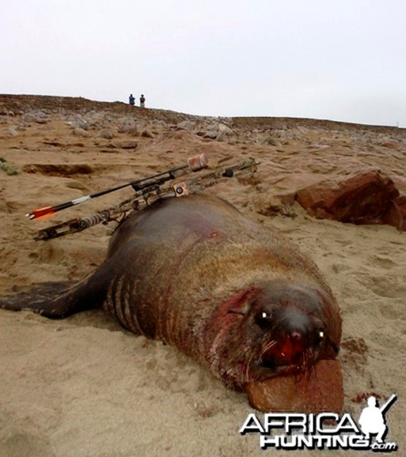 Fur seal cruelly killed in Namibia, by a bow hunter from AfricaHunting.com.