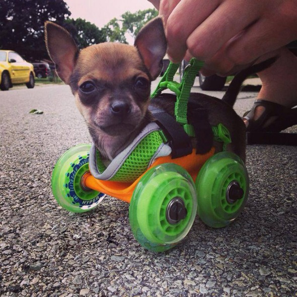 3d-printed-wheelchair-chihuahua-03