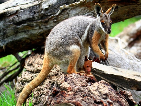Surrogate yellow-footed Rock Wallaby nursing the orphaned Tree Kangaroo, in a world first at Adelaide Zoo.