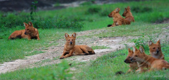 dhole-pack