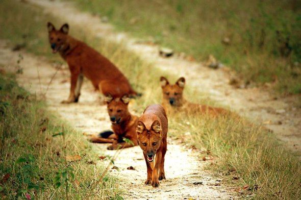 dhole_pack
