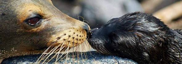 galopagos fur seal and cub