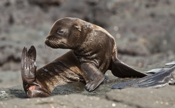 Galpagos fur seal pup