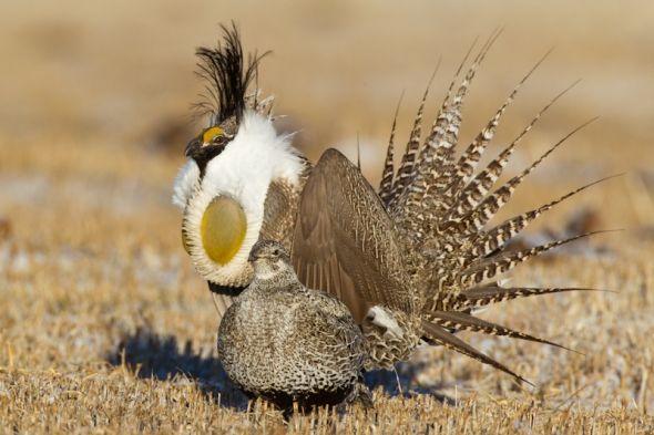 Male Gunnison Sage-Grouse displays on the lek during a spring mating season at Mill Creek Ranch in Gunnison, CO.