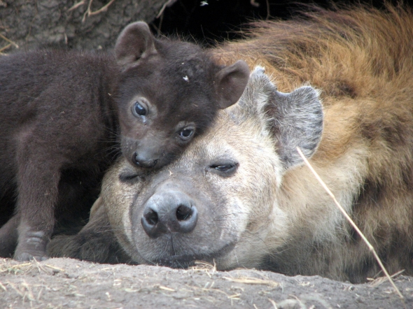 hyena-with-cub (1)