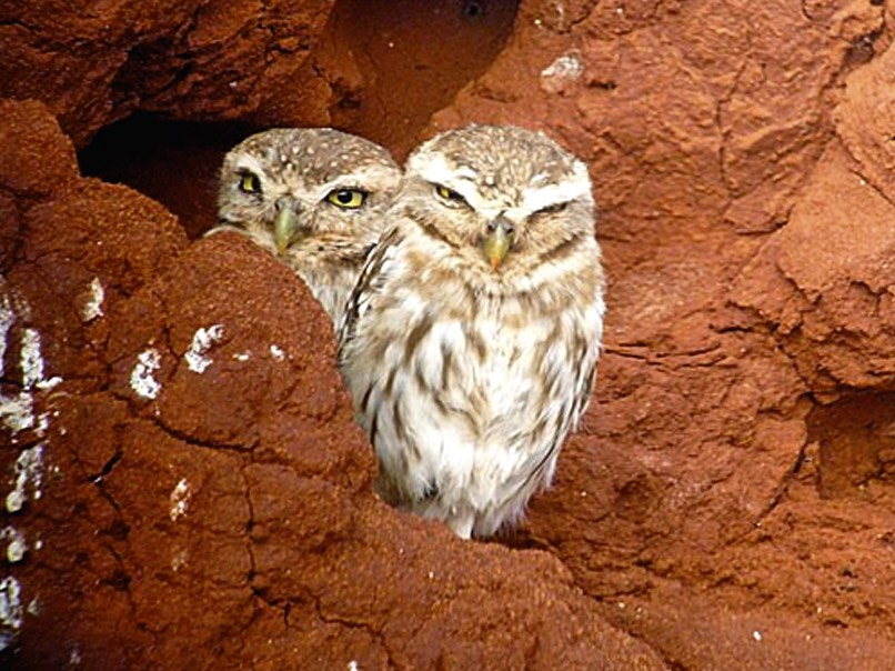 Termite mounds are home to many animals, including owls.