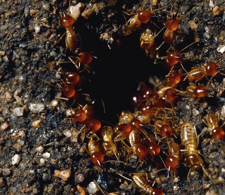 Soldier termites stand guard as workers close up the entry hole.