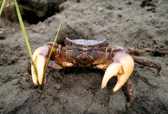 purple-marsh-crab