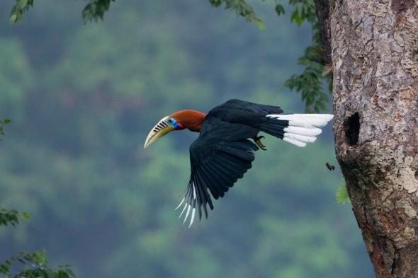 Rufous_Necked_Hornbill