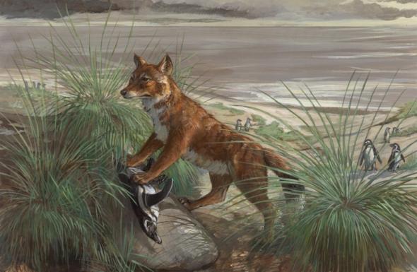 Falkland-Islands-wolf