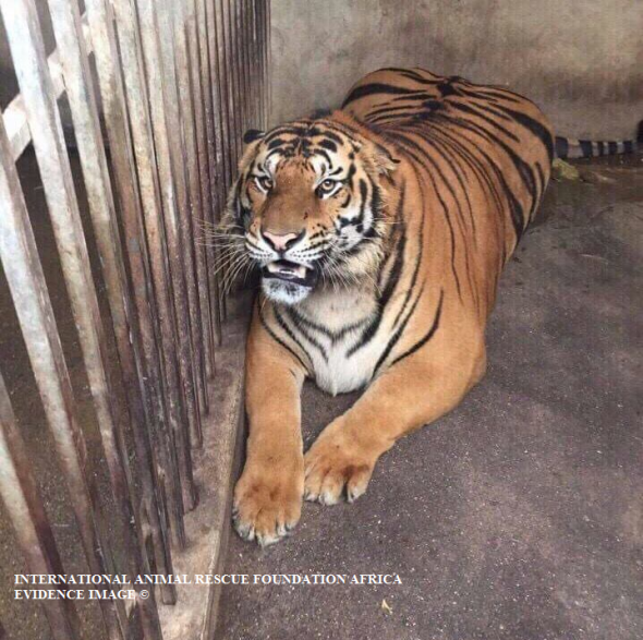 One of nine tigers that both the Thai and Vietnamese traders keep as pets. Sadly to later breed and kill for parts.