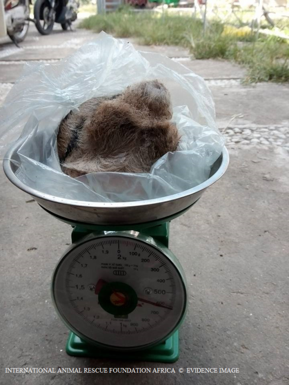 Tiger (testicles) weighed for sale. The testicles will most likely be used to produce tiger testicle soup.