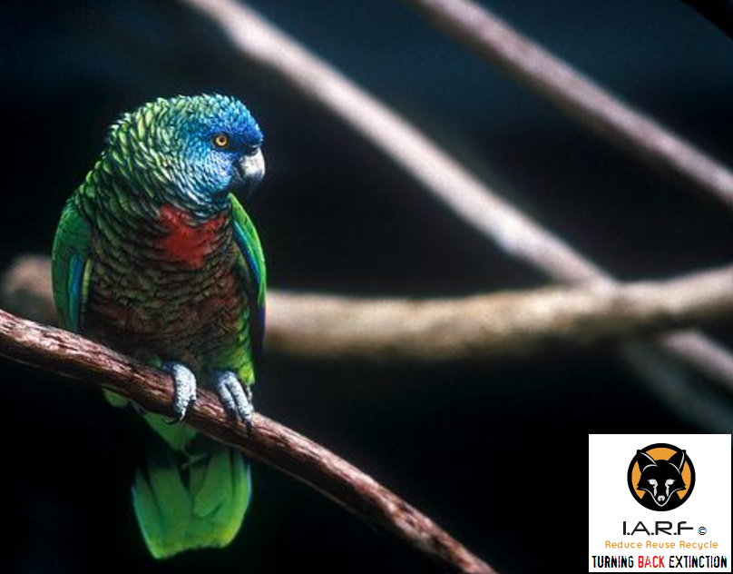 Endangered species speak up for the voiceless international endangered species friday amazona versicolor sciox Images
