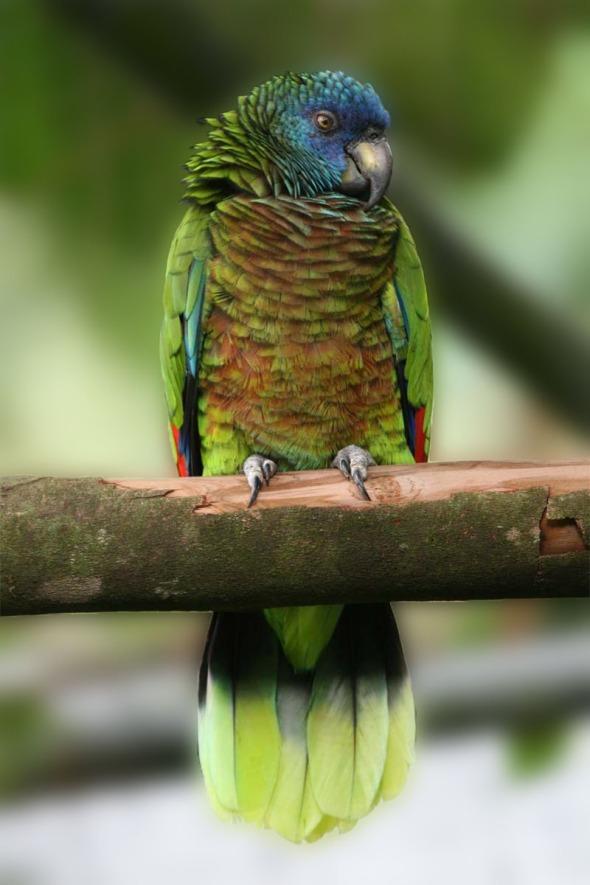 St._Lucia_Parrot_MP_impr