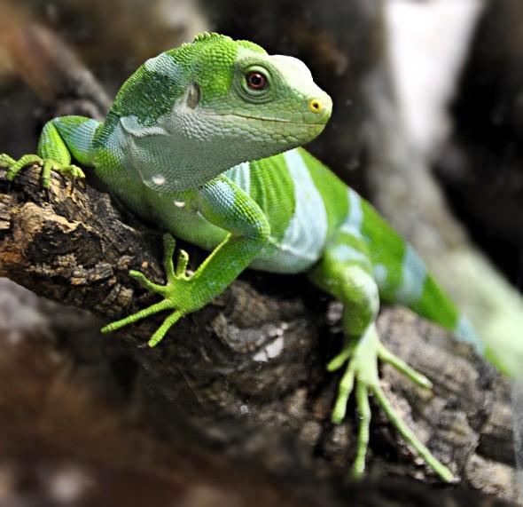 Fiji-Banded_Iguana__Brachylophus_fasciatus