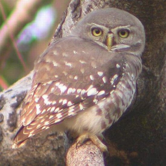 forest_owlet_1_ab