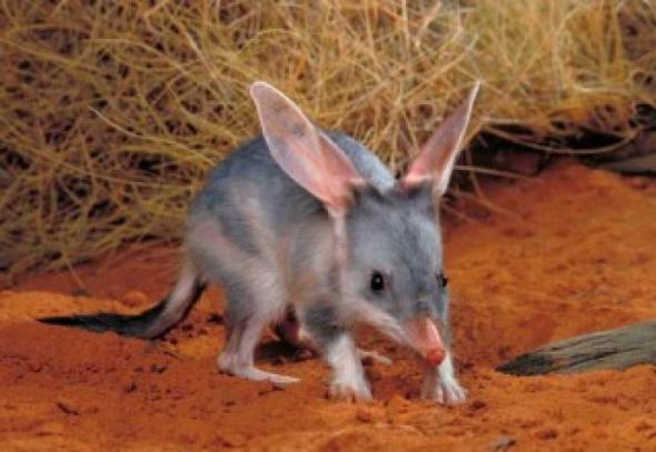 Rabbit-eared Bandicoot