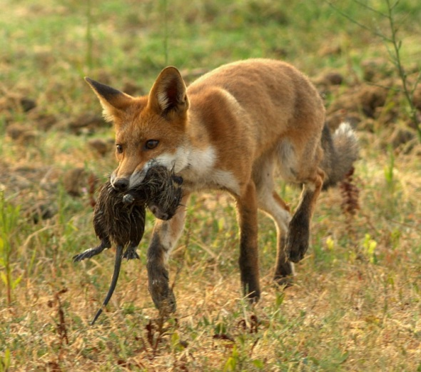 Red_fox_with_nutria