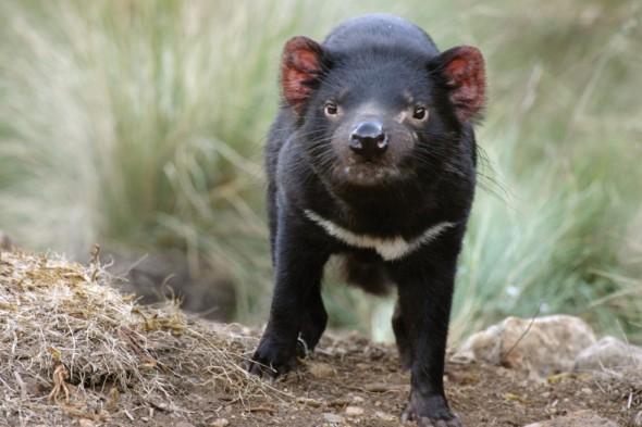Tasmanian-devil-980x653