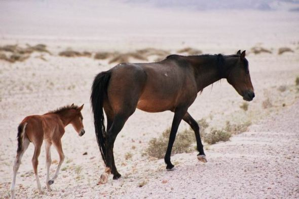 namib-desert-horse-with-foal-1